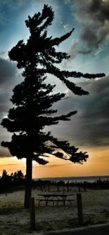 Pine Tree at the Cannery